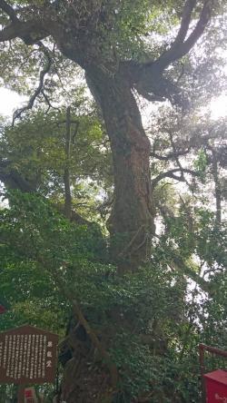 竹生島(木)