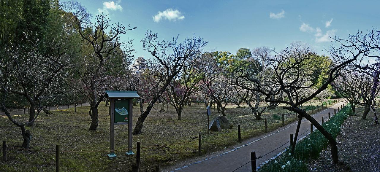 20200223 後楽園今日の園内梅林の梅の花の様子ワイド風景 (1)