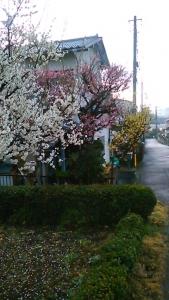 200222 3色の梅ノ木