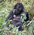 114px-Susa_group,_mountain_gorilla