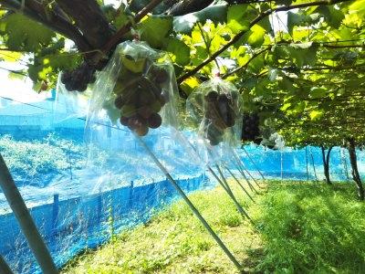 ぶどう収穫