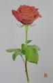 赤いバラの花01