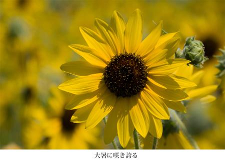 15 暑に咲き誇る