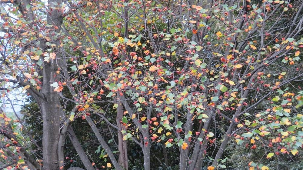1秋の木の葉ゆりのき公園IMG_6625