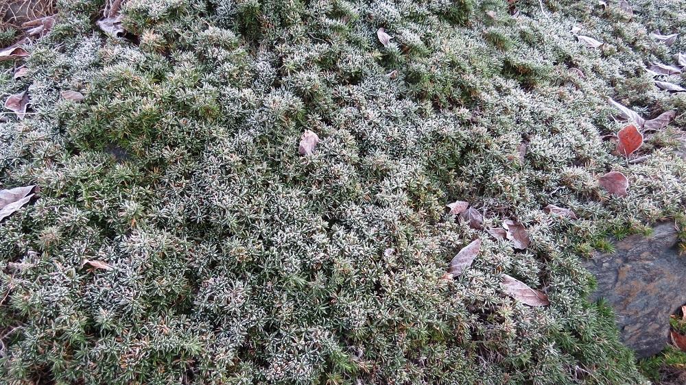 4霜と芝櫻IMG_5612