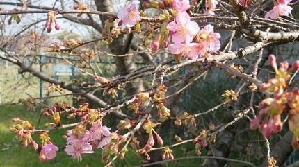 2桜IMG_6967