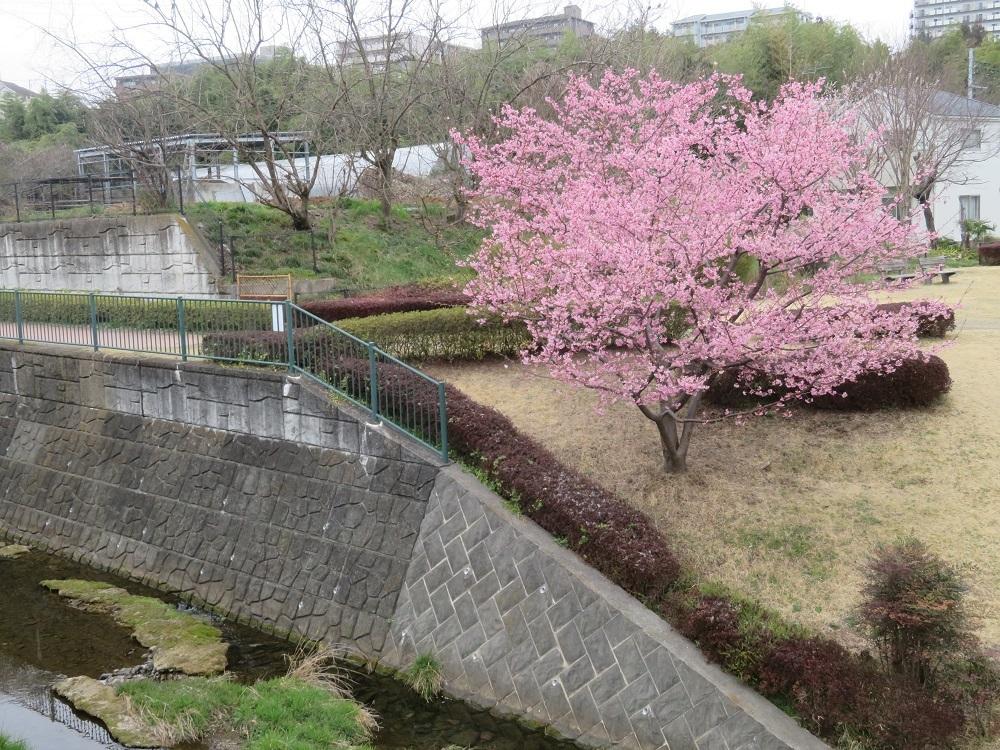 1河津桜MG_6980