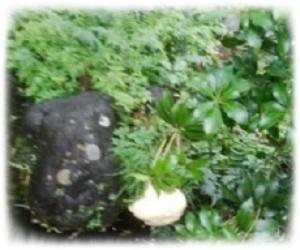 モリアオガエルの卵1