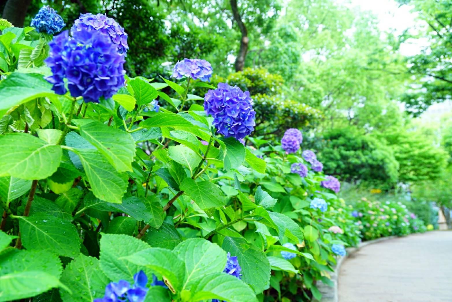 梅雨入り前の紫陽花12