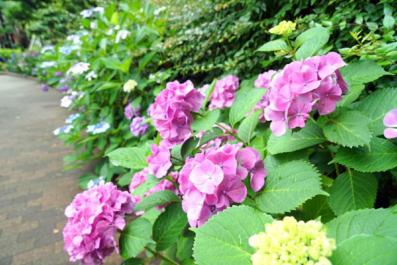 紫陽花パート213