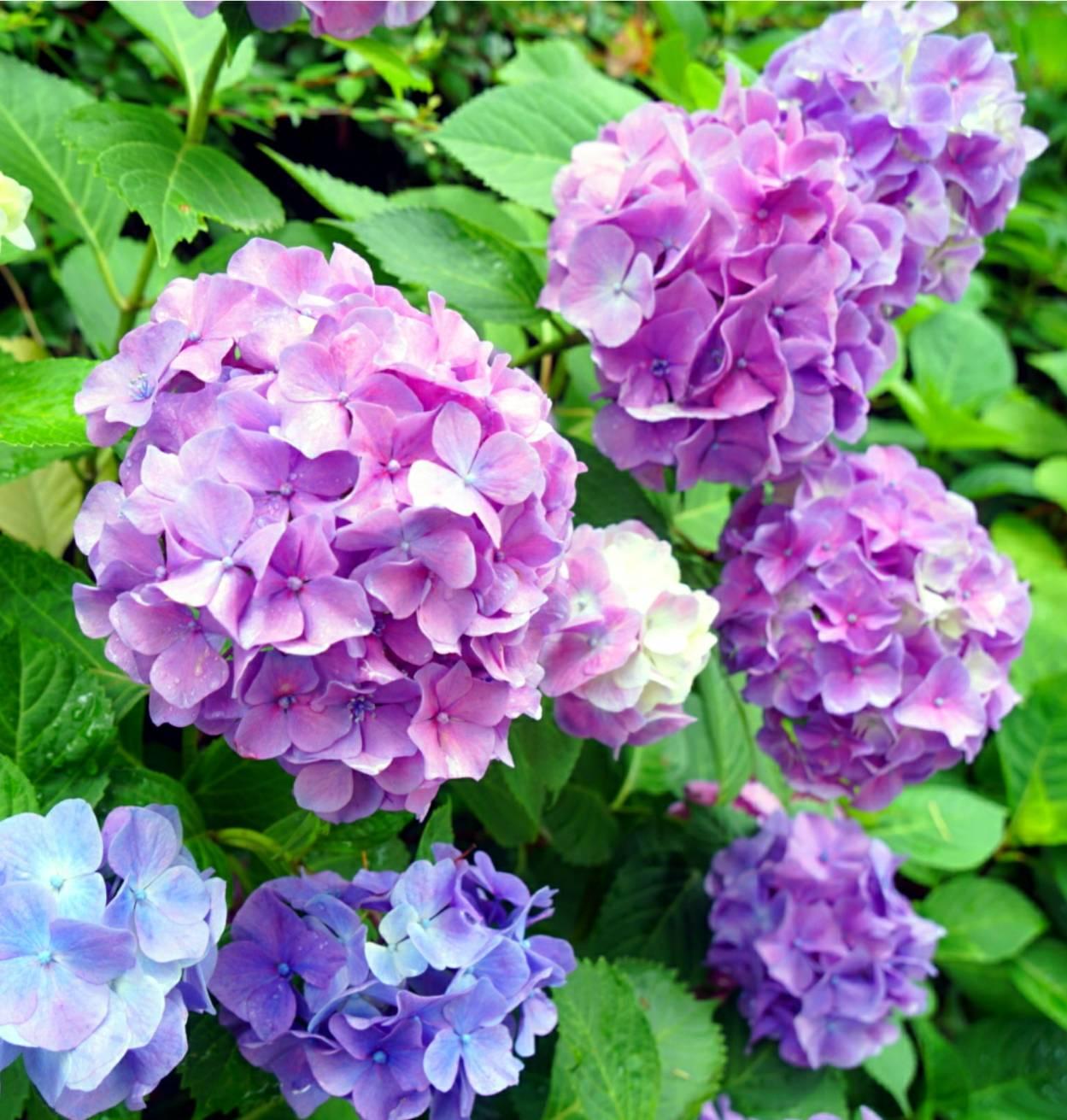 紫陽花パート215