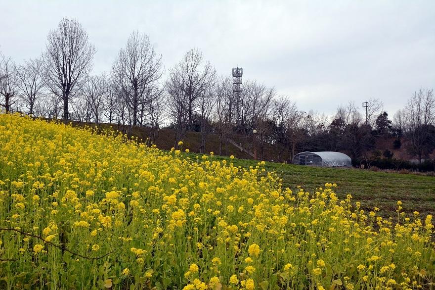 真冬の菜の花 (0)