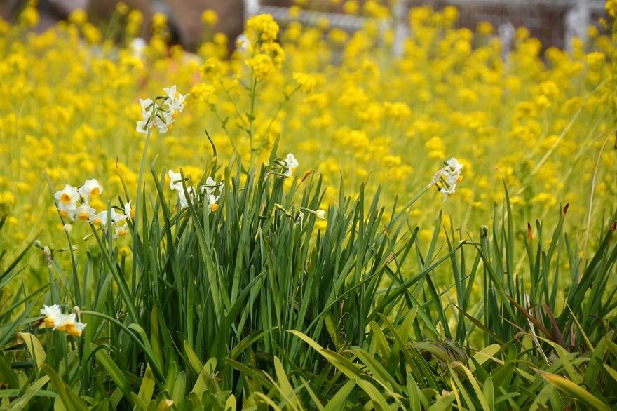 真冬の菜の花 (6)