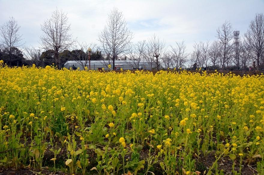真冬の菜の花 (7)