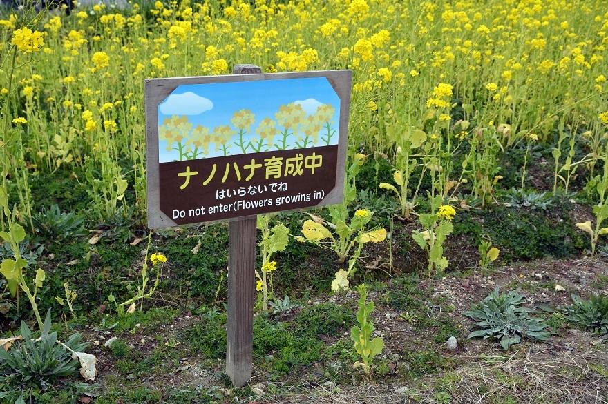 真冬の菜の花 (10)