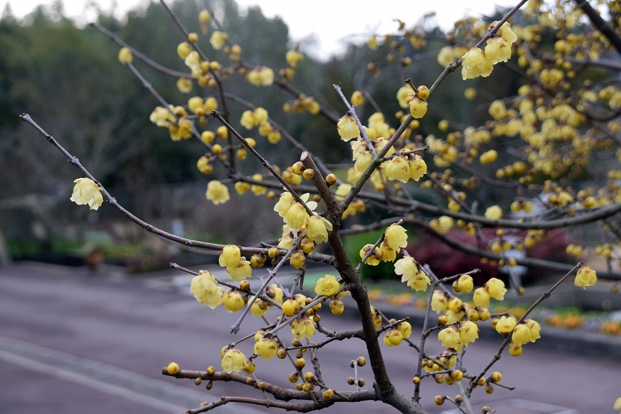 花の文化園・真冬2020 (15)