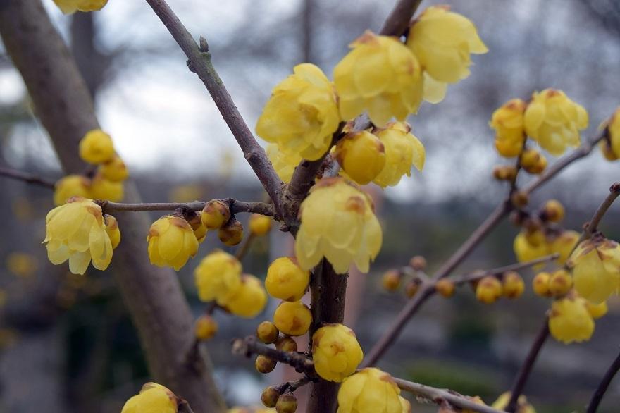 花の文化園・真冬2020 (17)
