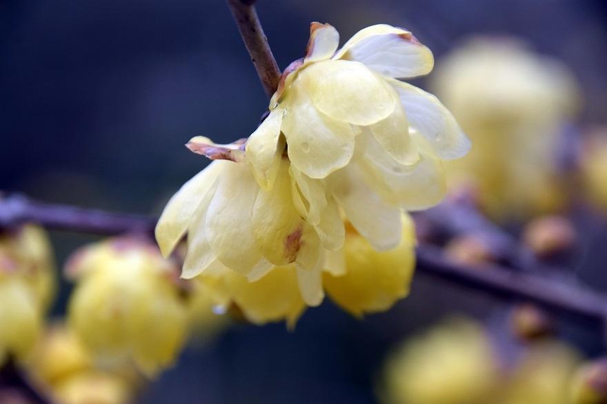 花の文化園・真冬2020 (19)