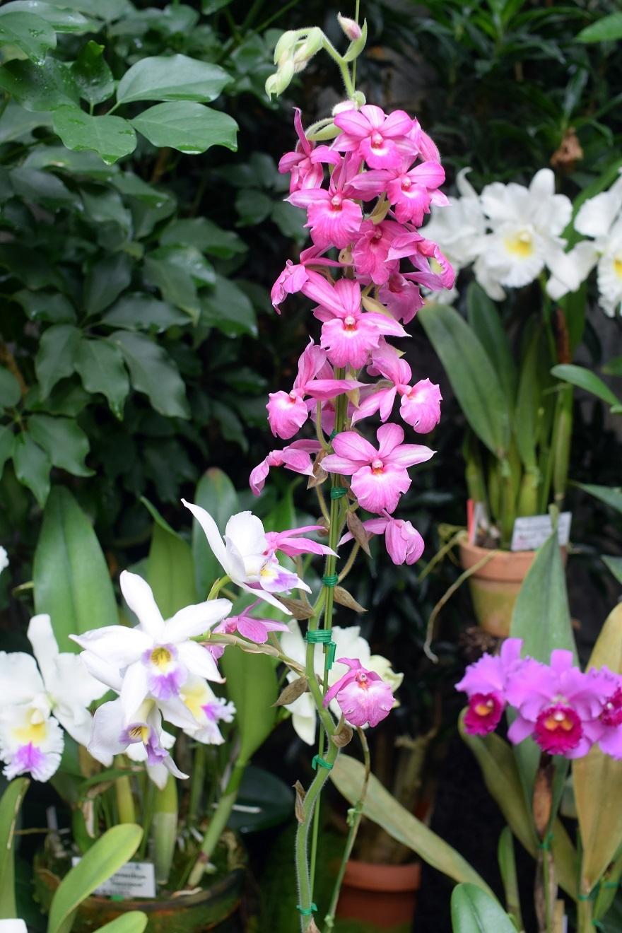 花の文化園・大温室2020 (11)