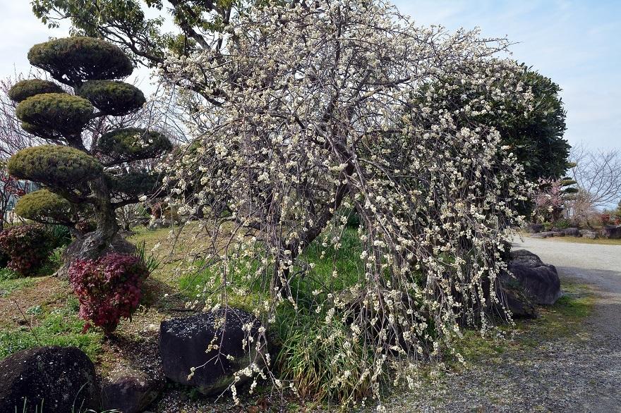 和泉・日本庭園20春 (1)