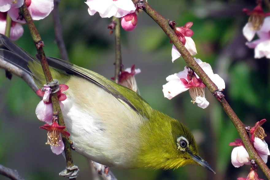 和泉・日本庭園20春 (07)