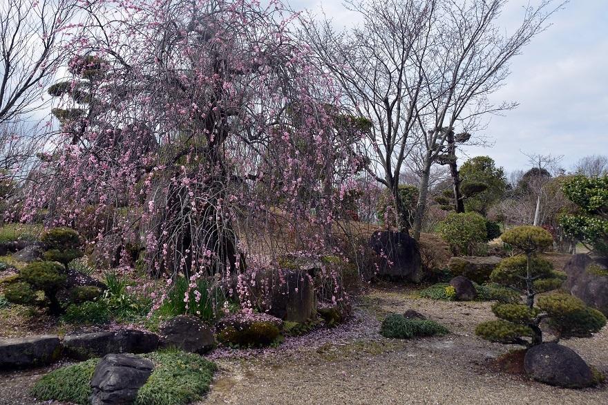 和泉・日本庭園20春 (7)