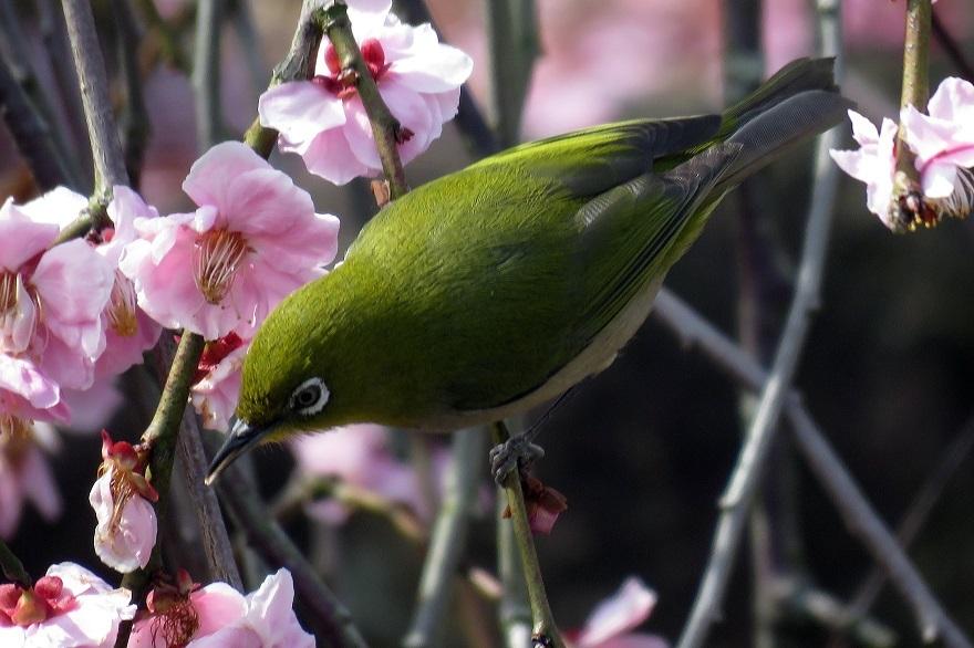 和泉・日本庭園20春 (11)