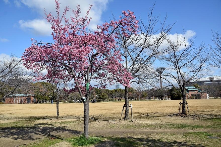 長居早崎桜2020 (4)