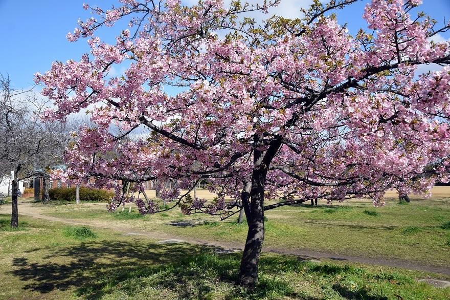 長居早崎桜2020 (10)