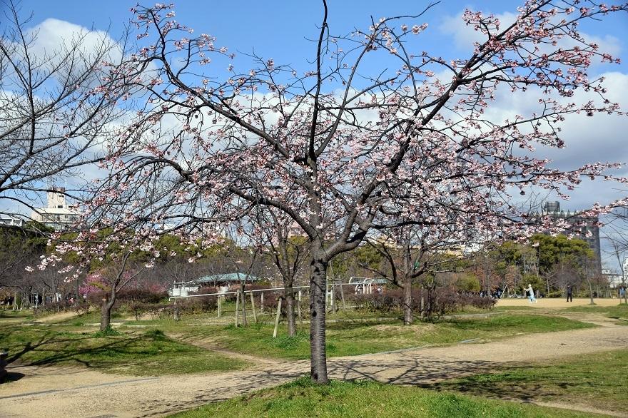長居早崎桜2020 (12)