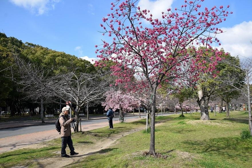 長居早崎桜2020 (13)
