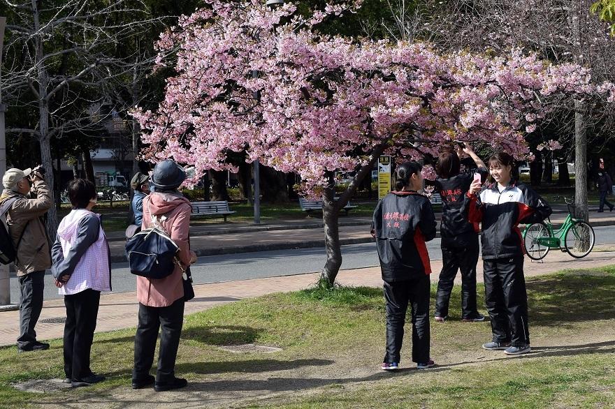 長居早崎桜2020 (14)