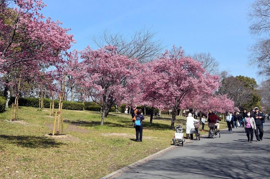 鶴見・早咲き桜・20 (0)