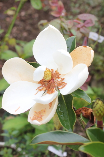 ヒメタイサンボク リトルジェムの花