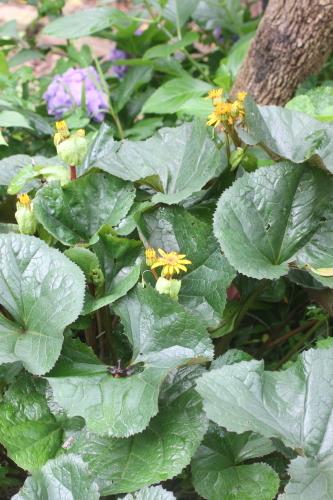 リグラリア・ミッドナイトレディの花