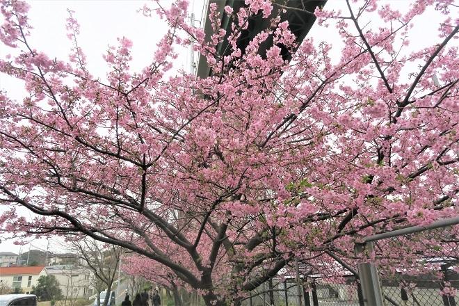 2020三浦海岸桜まつり(1)