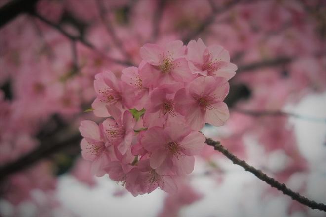 2020三浦海岸桜まつり(2)