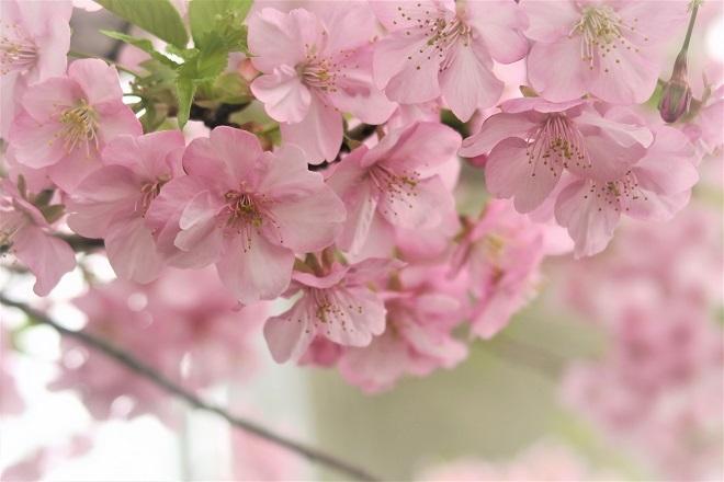 2020三浦海岸桜まつり(3)