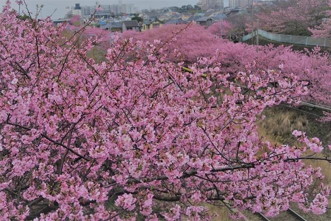 2020三浦海岸桜まつり(4)
