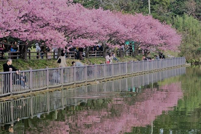 2020三浦海岸桜まつり(5)