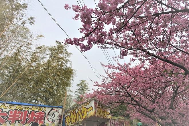 2020三浦海岸桜まつり(6)