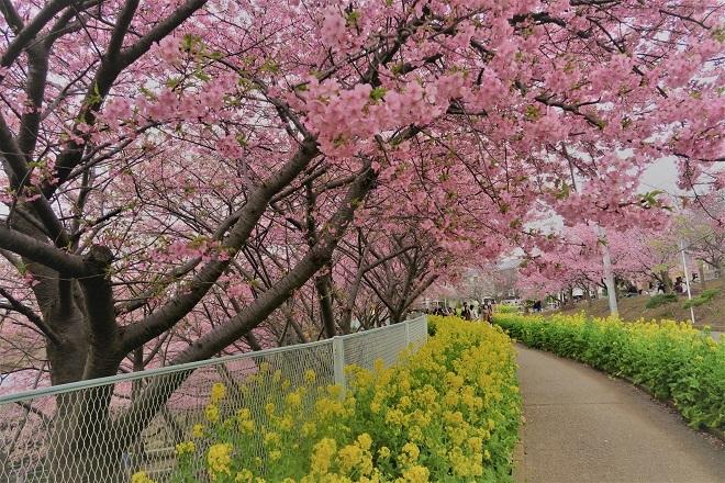 2020三浦海岸桜まつり(9)