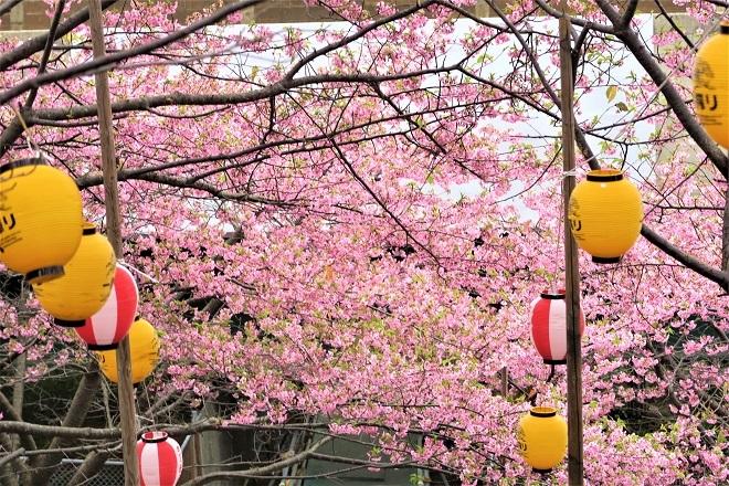 2020三浦海岸桜まつり(12)