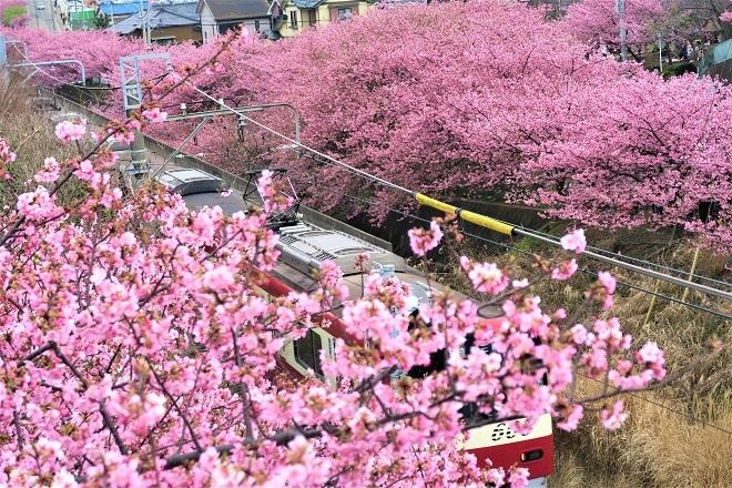 2020三浦海岸桜まつり(14)