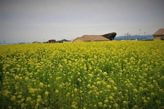 2020ソレイユの丘菜の花(04)