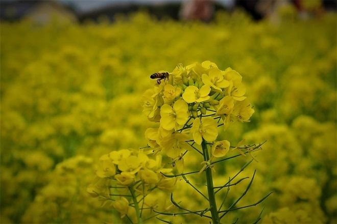 2020ソレイユの丘菜の花(07)