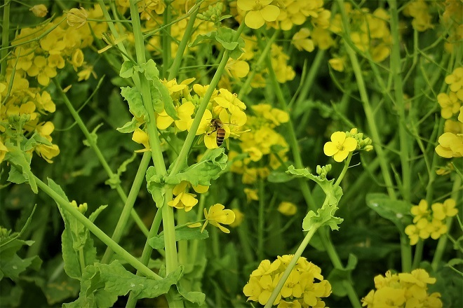 2020ソレイユの丘菜の花(08)