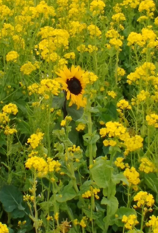 2020ソレイユの丘菜の花(09)