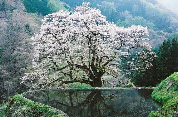 駒繋ぎの桜03_0001