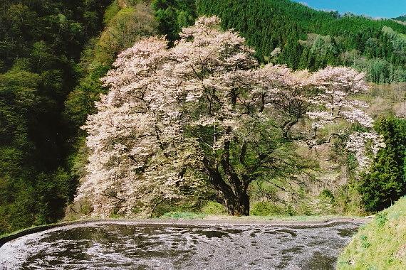 駒繋ぎの桜04_0002